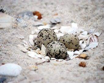 Snowy plover eggs