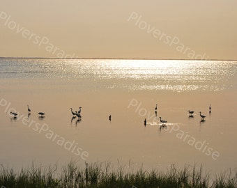 Bird Photograph // Great Egrets Foraging at Sunset Photograph // Sunset Photograph // Shorebird Photograph Print