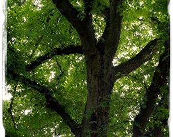 Ulmus glabra 'Wych Elm' [Prov. UK] TREE 35+ SEEDS