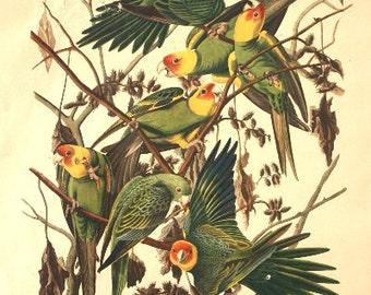 Fine Art - J. J. Audubon (Carolina Parrot, No. 6, Plate XXVI)