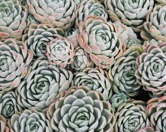 Succulent Photo Fine Art Photography Instant Digital Download Nature Soft Green Pink Pastel