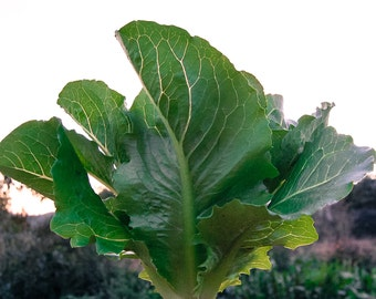 Certified Organic Parris Island Romaine Lettuce (~600): Non-GMO, Certified Organic Heirloom Seed Packet