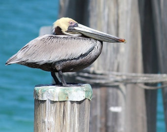 Not On My Watch - Professional Photography Nature Pelican Print by David Lovett