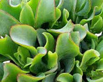Mature Succulent Plant Ripple Jade  Rippling waves of beautiful green with red edges Beautiful in drought tolerant landscape garden