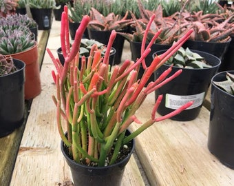 Medium Succulent Plant Firesticks