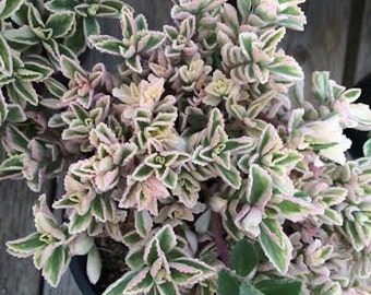 Succulent Plant  Mature Plant 'Mike's Fuzzy Wuzzy' Varigated green leaves with a pink hue Great ground cover for drought tolerant landscape