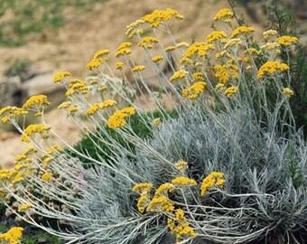 """Dwarf Curry Herb Plant - Helichrysum - 4"""" Pot"""