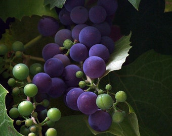 "Old Town Grapes 2012  © Solvei Stohl (8.25"" x 11"") Archival Print, Signed"