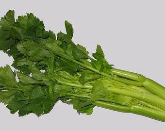 Celery large leaf organic seeds 4.00gr 1200 - 1300 seeds