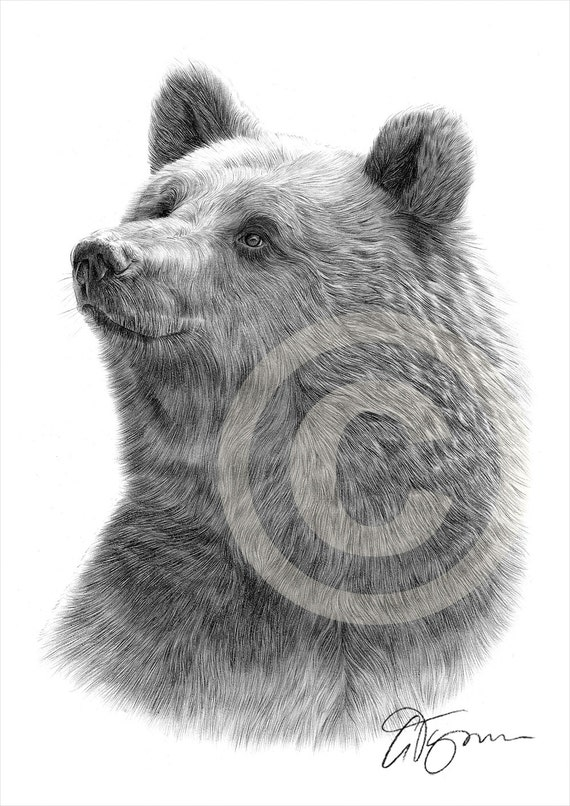 Grizzly Bear pencil drawing print A4 size artwork signed  Grizzly Bear pe...