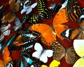 Spread Mixed Real Butterflies:  5 Ready to Mount, DIY Framed Insects  Common Species