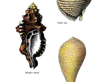 Shells Print - Washer Triton, Giant Tun, Common Fig Shell - 1976 Vintage Book Plate 6.5 x 9.5