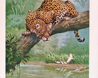 National Geographic - Jaguar  - Wild Animal Print - 1963 Vintage Book Page - 7 x 10
