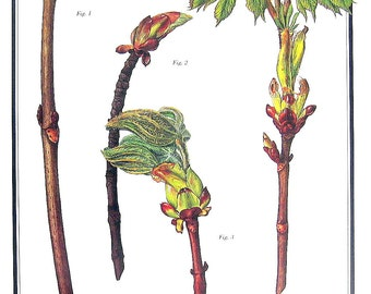 Horse Chestnut Tree - Leaves and Twigs - 1987 Vintage Botanical Print - Vintage Book Page - British Trees Book