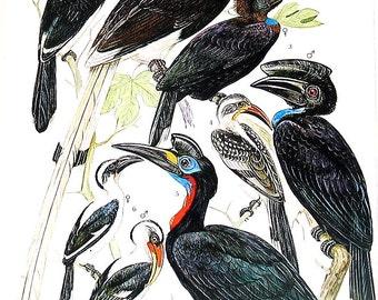 Bird Print - Common Roller, Dollarbird, Eurasian Hoopoe, Trumpeter Hornbill, Ground Hornbill - Vintage 1973 Encyclopedia Book Page