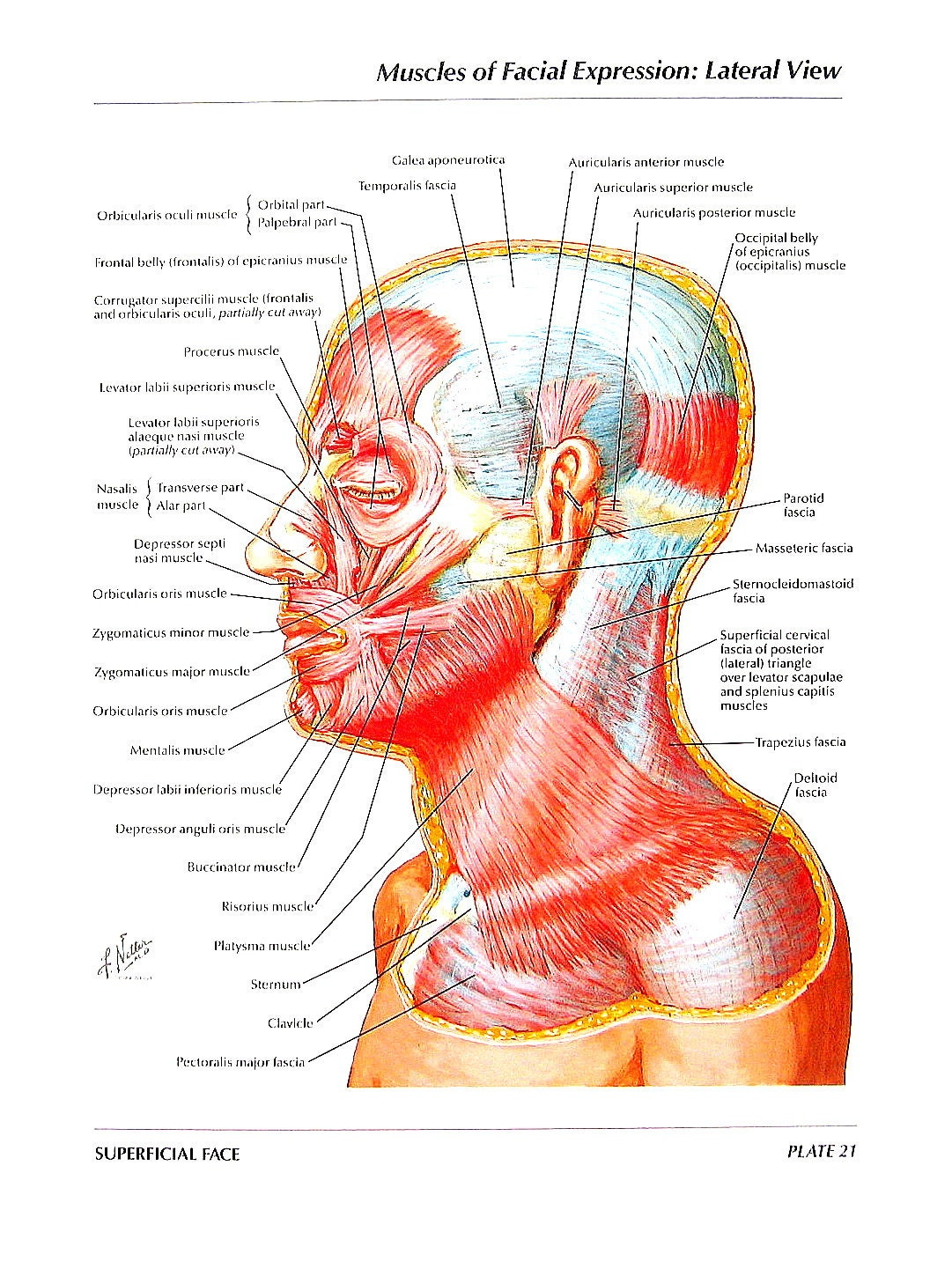 muscles of facial expression pdf