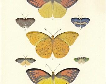 Natural History Print Cramer's Butterflies Illustration