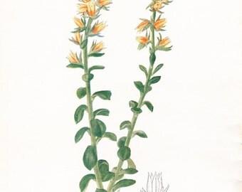 1917 Botany Print - Echeveria Multicaulis - Vintage Antique Flower Art Illustration Book Plate for Framing