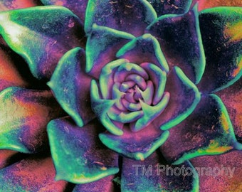 Colorful, Succulent, Colorful Succulent, Cactus, Cacti, Vivid, Vivid Colors, Fine Art Photography