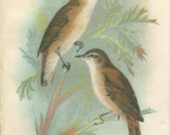 Reed Warbler, Sedge Warbler, Antique Bird Print, Richard Lydekker, Ornithology, Vintage 1896, Chromolithograph Plate 21