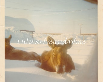 Vintage Color Kodak Photo of Moose Half Buried in Snow