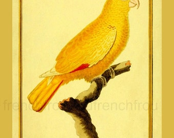antique french illustration yellow parrot DIGITAL DOWNLOAD