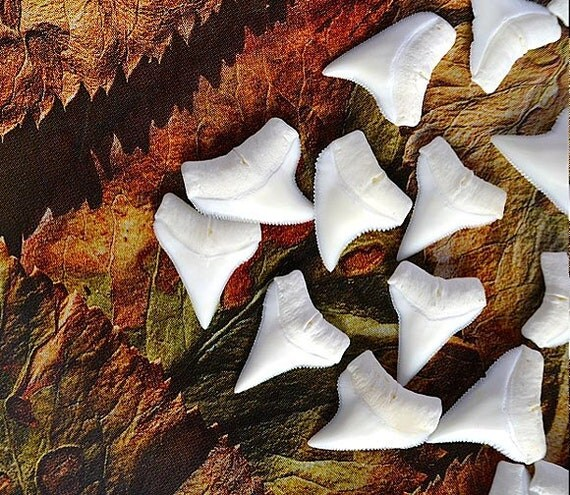 20 Upper White Shark Teeth..... Grade A Creamy White Shark Tooth for jewelry and wire wrapping 20-58U.