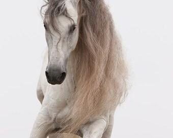White Stallion Jumps - Fine Art Horse Photograph - Horse - Andalusian - Fine Art Print