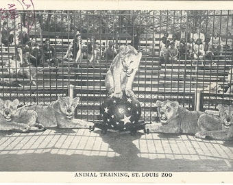 Animal Training St. Louis Zoo Lionesses Lions 1944 Vintage Postcard