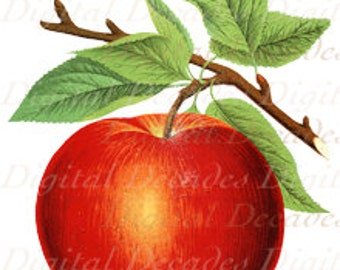 Apple Red Fruit Vintage Art Illustration - Digital Image - Instant Download