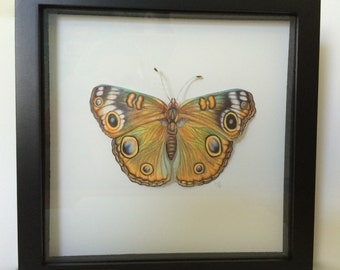 Common Buckeye Butterfly Color Pencil Shadowbox Diorama