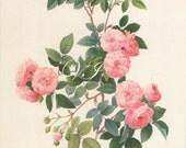 Rosa Multiflora Carnea Redoute Vintage Botanical Print Antique, plant print botanical, bookplate postcard art print, plants plant wall print