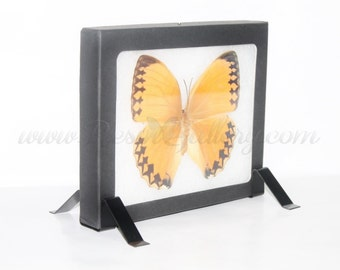 Stichophthalma Howqua 5x6 Vertical Riker Mount Display Decor