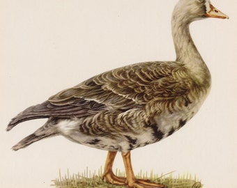 Vintage Bird Print White Fronted Goose Print Hunting Lodge and Cottage Decor  Vintage Animal Print Plaindealing #2604