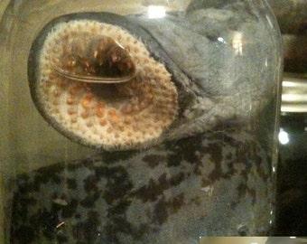 DEATH WORM Terrifying Lamprey Eel in a Jar - Preserved Wet Specimen Taxidermy