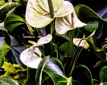Flower Photography, Calla Lily Print, White Nature Print, Green Fine Art, Photo Wall Art by Paula DiLeo