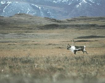 Bull Caribou ...Alaskan Fine Art Photography