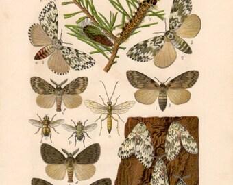 1915 Black Arches Moth, Antique Print, Insect Lithograph, Lymantria monacha, Gypsy Moth, Malacosoma, Lymantriidae, Lepidoptera, Entomology