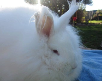 1oz of luxurious natural white german angora rabbit fiber average staple length of 3 in.