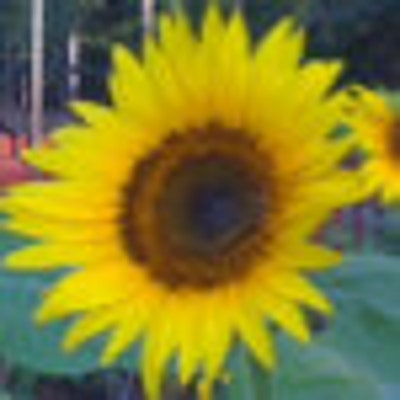 sunflowersrock
