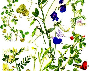Sweet Pea Vetch Asparagus Pea & Legume Flowers Mediterranean Botanical Exotica 1969 Large Vintage Illustration To Frame 29