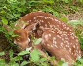 New Born Deer, Tiny Fawn, Woodland Animal, Baby Animal, Deer in Forest, Montana Wildlife, Photograph or Greeting card