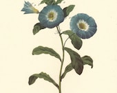 vintage botanical print by Pierre Redoute of blue morning glory, a vintage printable digital image no. 1567.