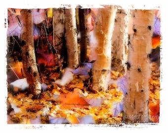 fine art print morning light birch trees fall