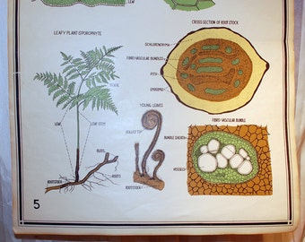 vintage 1941 school science chart - chart 6947 Zoological Smallwood for Welch page 5 Pteridophytes Fern