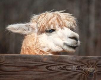 Alpaca photography, Farm Animal Photos Nursery wall art, Brown Beige Home Decor, Rustic Nature print 5x7, 8x10, matted Fine Art Photography