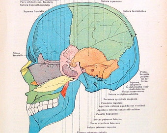 The Human Skull - 1933 Human Anatomy Illustration from Vintage Anatomy Book
