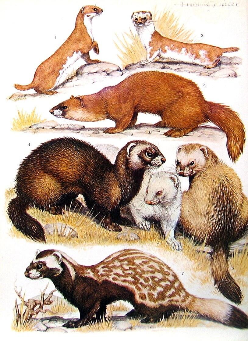 Animal Print Ermine Ferret Mink