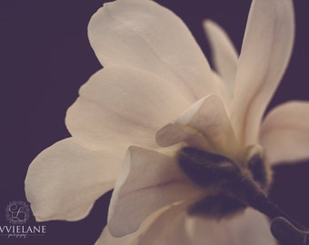 Magnolia photography -Midnight Magnolia - 16 x 24 fine art color photograph - creamy white dreamy gray aubergine tones floral home decor