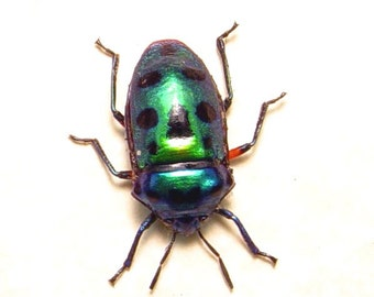 Real Framed Scutelleridae Sp Green Man Face Beetle 8233